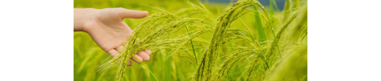 Punjabi Brand Rice